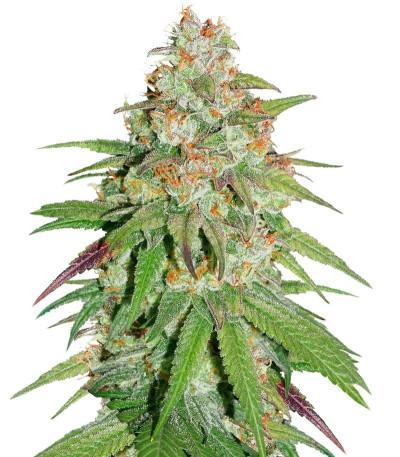 Семена Glueberry O.G. шишки