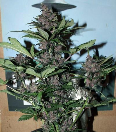 Семена сорта LSD-25 auto fem