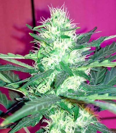 Семена сорта Critical + Autoflowering fem (Dinafem Seeds)